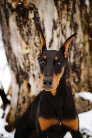 Animal photography of a Doberman Pinscher taken next to a tree in Arkell, Ontario.
