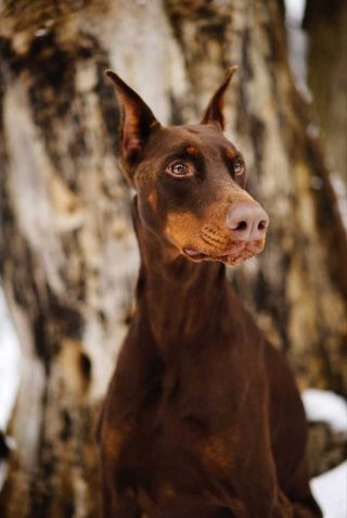 Dog photography of a light brown Doberman with a snowy background.