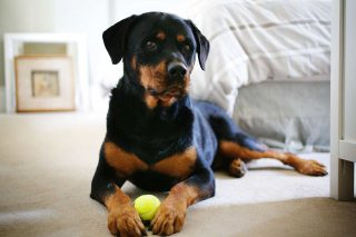 Pet family photos of a Rottweiler with a tennis ball taken in a bedroom.