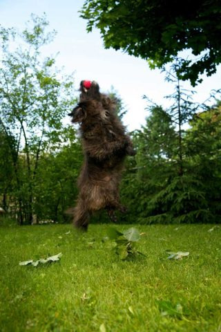 Dog photography of small black dog catching a ball in the air, by pet photographer Trina Koster.