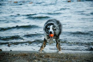 Photography of dogs: Australian Sheppard coming out of the water with a ball in its mouth.