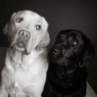 Studio image showcasing pet photography lighting of a golden and black Lab.