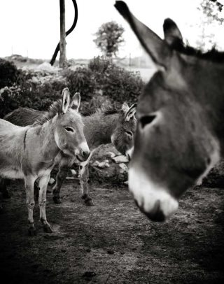 Group of donkeys taken by animal photographer Trina Koster at a sanctuary in Puslinch, Ontario