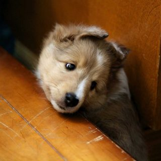 Professional puppy picture of a baby Sheltie taken the breeder's house in Fergus, Ontario.
