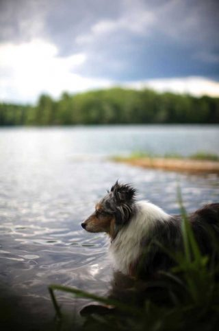 Dog photography of a Sheltie taking a bath in a lake near Kingston, Ontario.