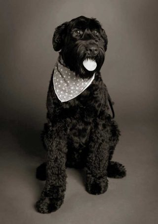A black and white image of a black dog taken with professional pet photography lighting in a studio.