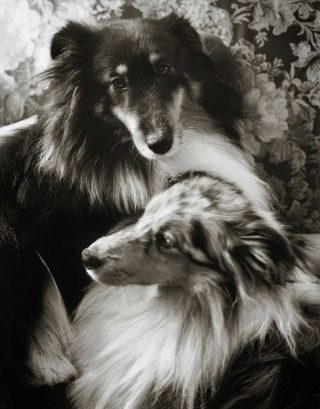 Black and white pet photography of a Tricolour Sheltie and a Blue Merle Shetland Sheepdog in Guelph.